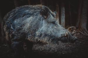 wildschwein-grabt-totes-tier-aus